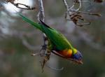Rainbow Lorikeet (Classified as a pest in WA)